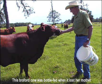 Buster T. Longino with braford cow