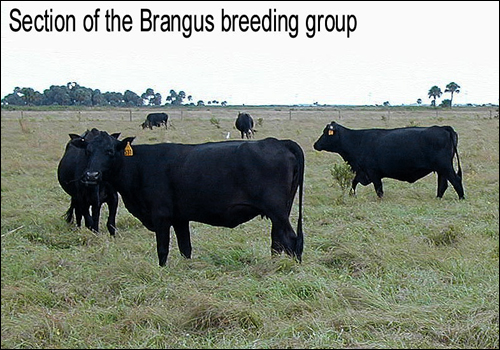 Brangus breeding group